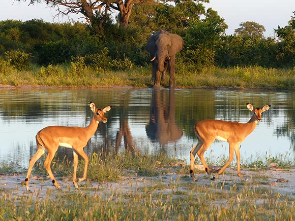 Elephant and impalas in low evening light at a waterhole in Chobe National Park.