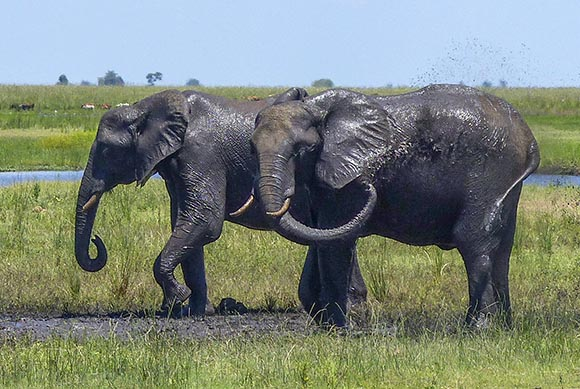 Elephants splashing mud on themselves.