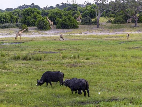 Giraffes getting drinks and buffalo grazing.