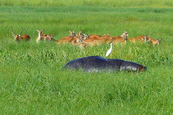 Hippo, egret, and lechwes in tall grass of the marsh.