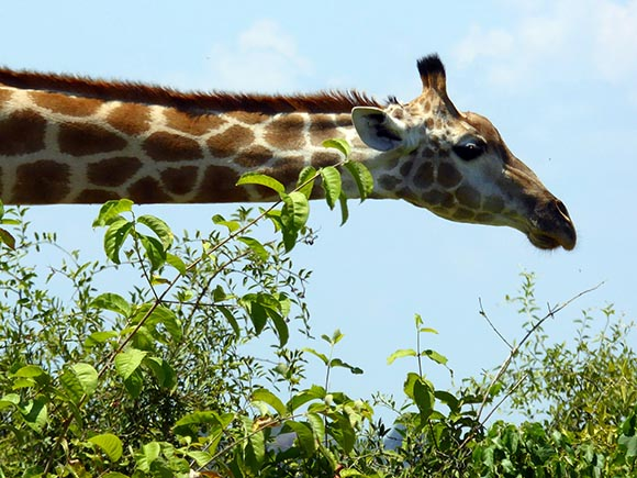 Giraffe with neck stretched horizontally.