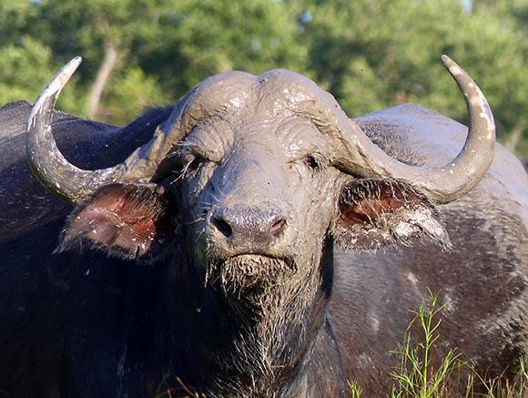 Cape buffalo with freshly mudded head.