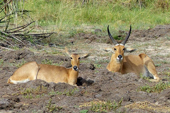 Male and female reedbucks.