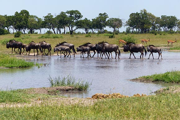 Wildebeest parade through a shallow water hole.