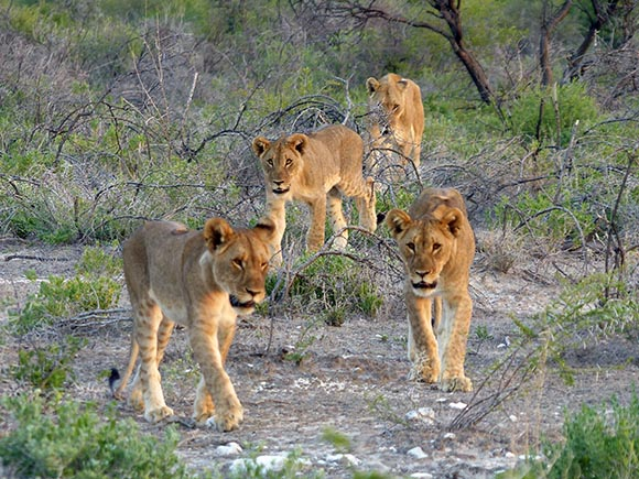 Three lion cubs and a lioness.