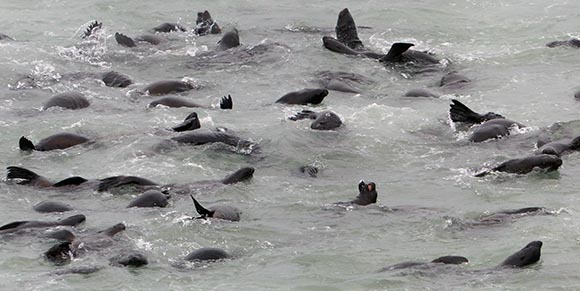 Cape Cross fur seals in the water