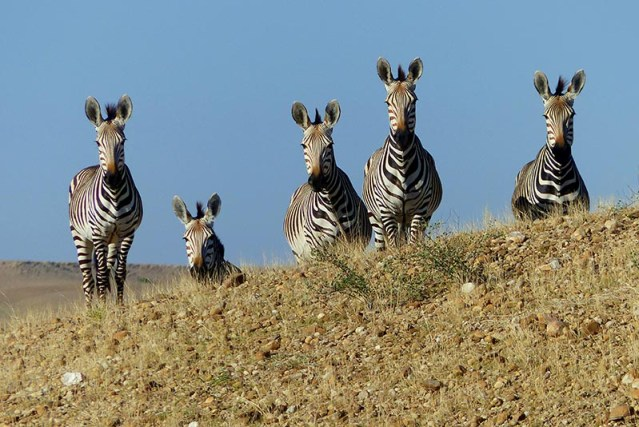 Mountain zebras, Namib-Naukluft National Park