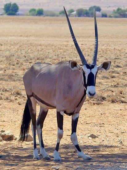 Gemsbok with a broken leg, Namiba