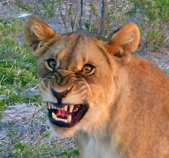 Lion cub with snarl face.