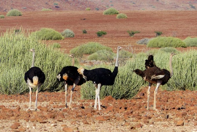 Ostriches in the Palmwag Conservancy game park.