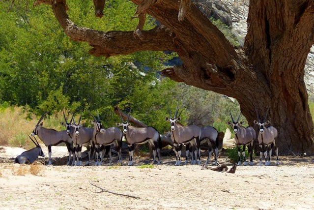 A whole herd of gemsbok in the shade.
