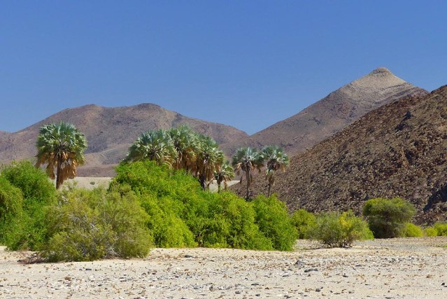 Palm trees and brush in the Hoarusib Riverbed.