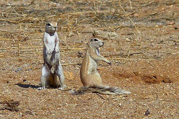 Cape Squirrels, Namib-Naukluft National Park