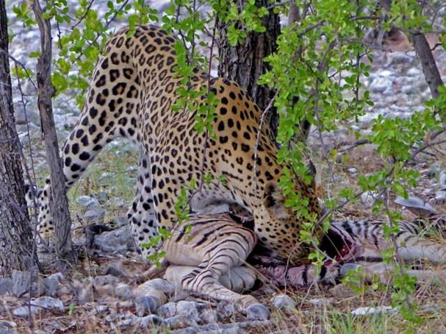 Leopard licking empty gut cavity.