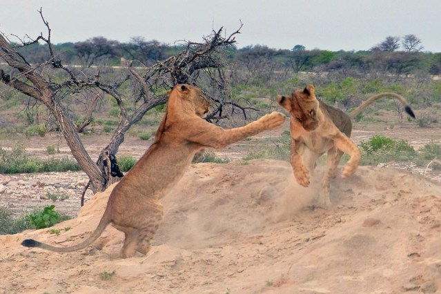Lion cub pouncing, Etosha National Park