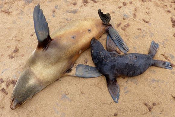 Cape Cross fur seal nursing