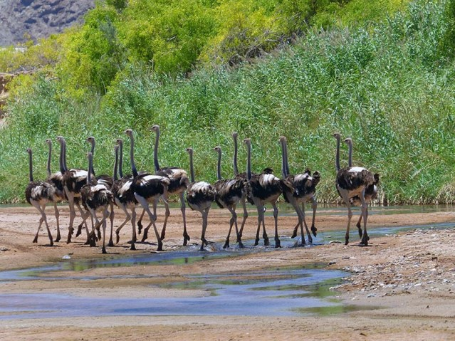 Ostriches jogging in the Hoanib River.