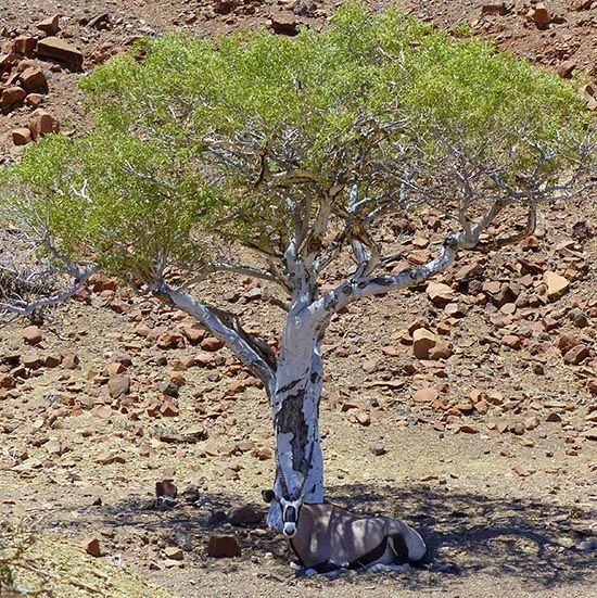 Gemsbok comfy in the shade.