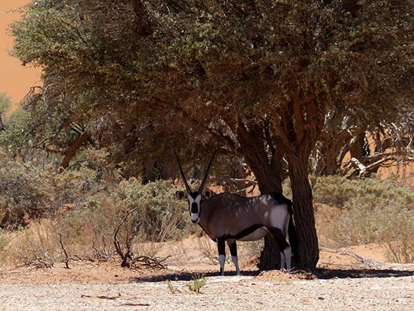 Gemsbok in the shade, Namib-Naukluft National Park