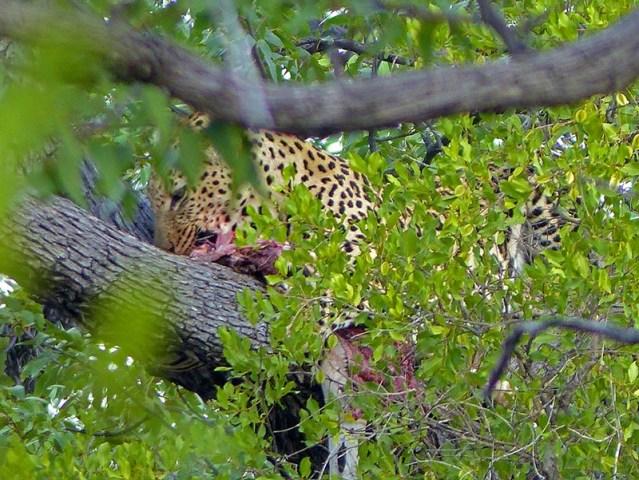 Leopard eating a zebra in a tree.