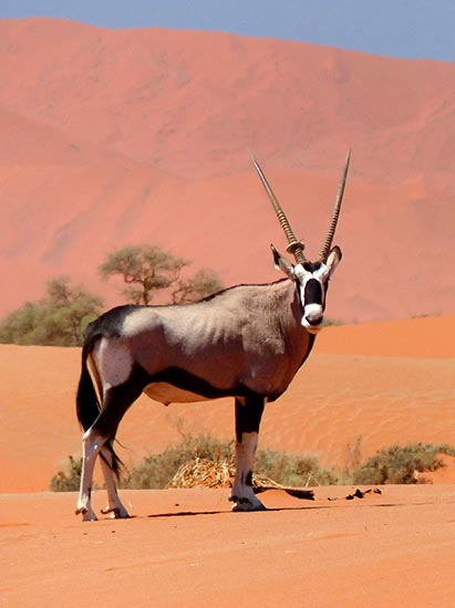 Ring toss gemsbok, Namib-Naukluft National Park
