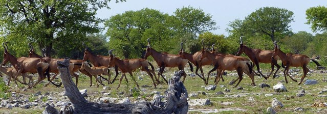 Hartebeest in a hurry, Etosha National Park