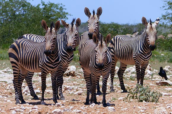Hartmann's Mountain Zebra, Etosha National Park