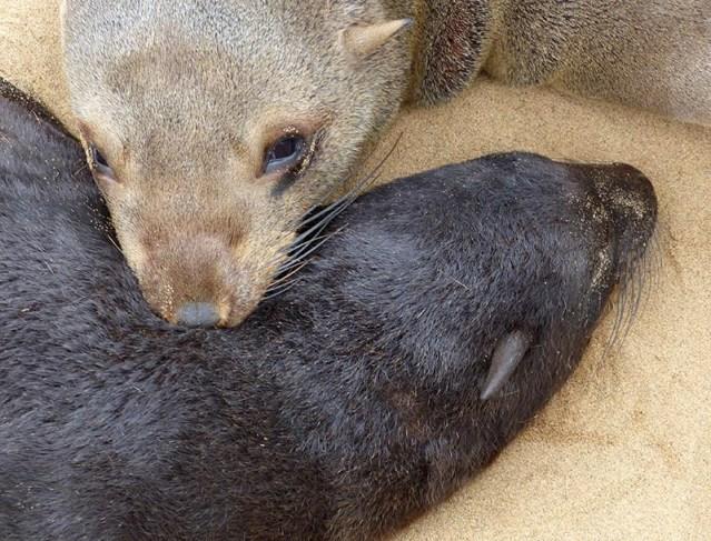 Cape fur seal mom and pup, Cape Cross