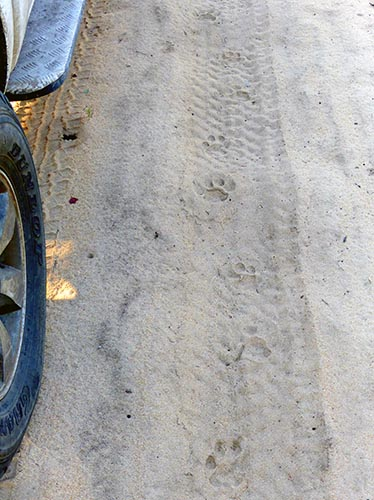 Cat tracks on top of our tire tracks from last night.