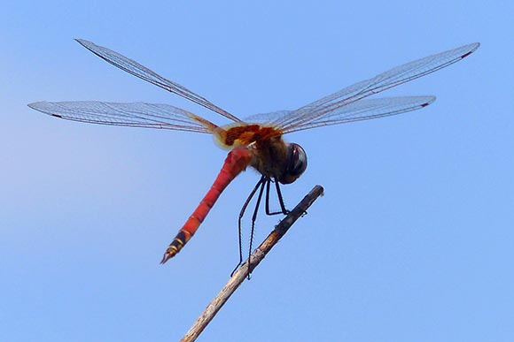 Red Dragonfly, Mangetti National Park