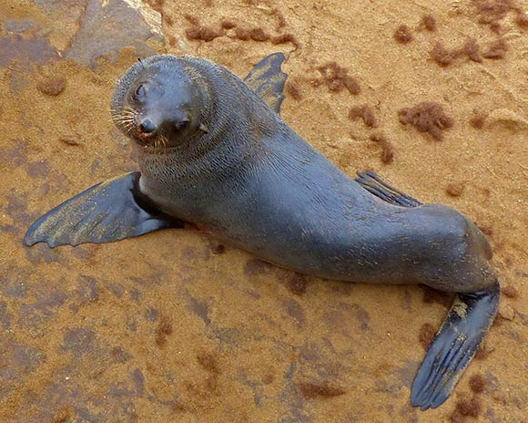 Fur Seals are Sea Lions, Cape Cross Seal Reserve