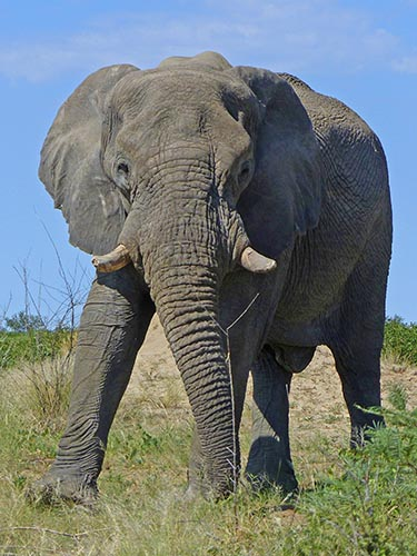Male elephant, Etosha National Park