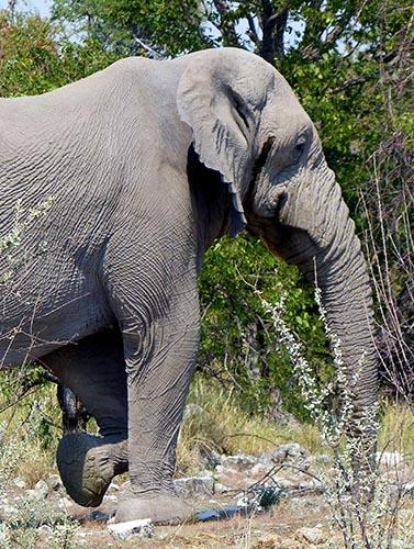 Extra-wrinkly Elephant, Etosha National Park