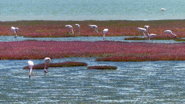 Flamingoes Feeding, Walvis Bay, Namibia