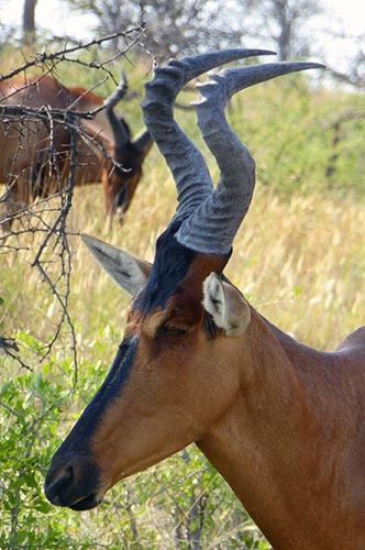 Red Hartebeest face profile, Etosha National Park