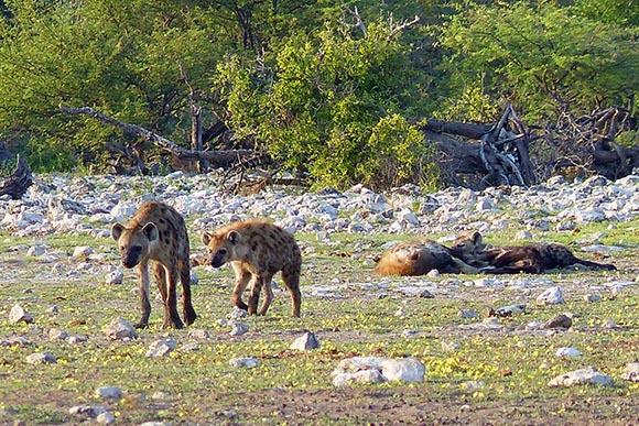 Hyena family, Etosha National Park