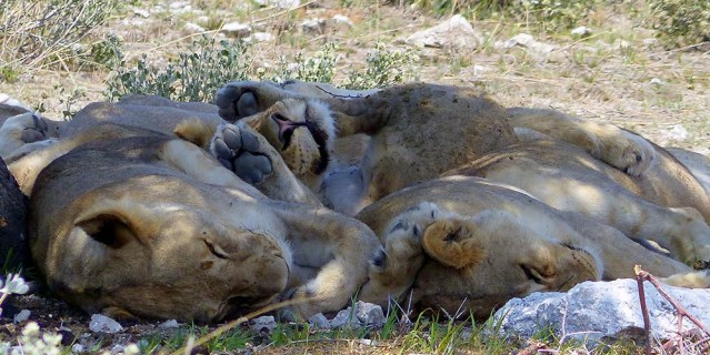 A pile o' lions.