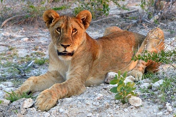 Lion Cub, Etosha National Park