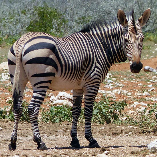 The back-end stripes on Hartmann's mountain zebra.