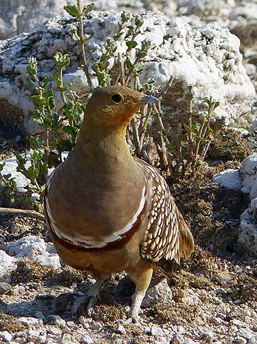 Namaqua Sandgrouse, Etosha National Park