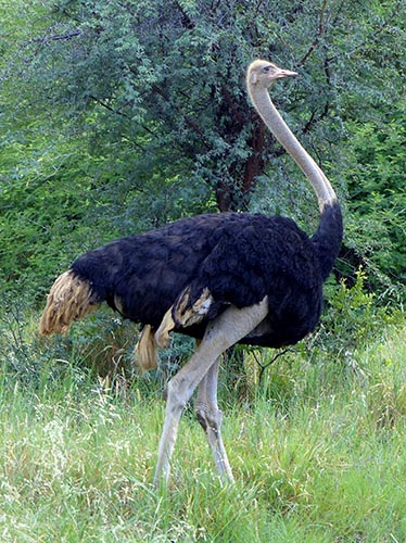 Male Ostrich, Mahango