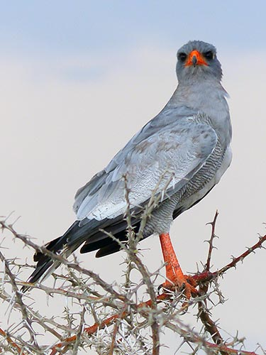 Pale Chanting Goshawk, Etosha National Park
