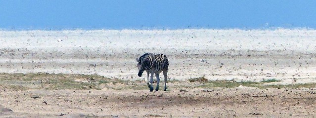 Zebra and pan obscured by heat shimmers.