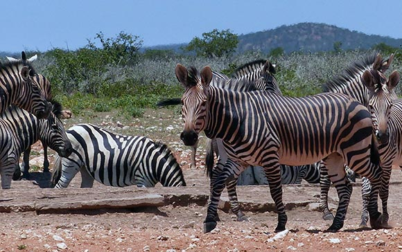Plains zebras and mountain zebras intermingle, Etosha National Park