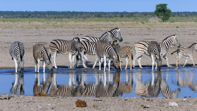 Plains zebras, Etosha National Park