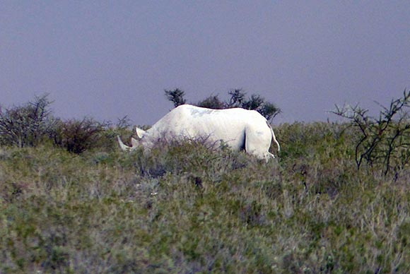 Rhinoceros, Etosha National Park