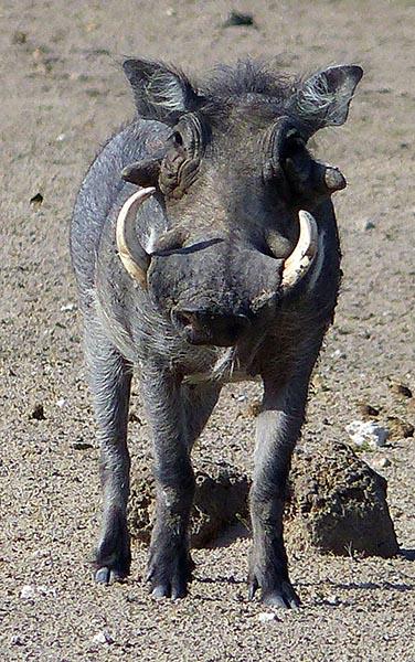 Warthog, Etosha National Park