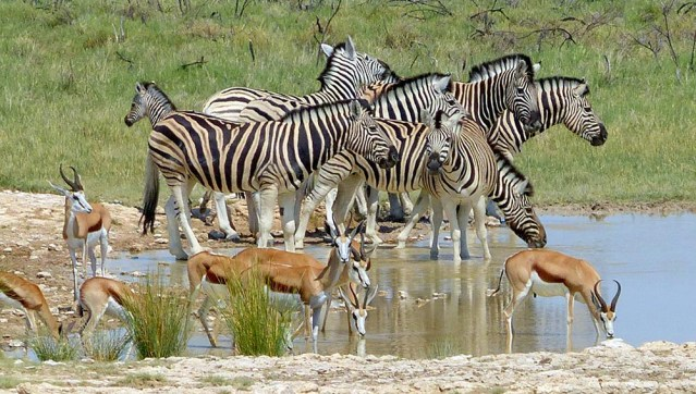 Zebras and Springbok at the Waterhole, Etosha National Park