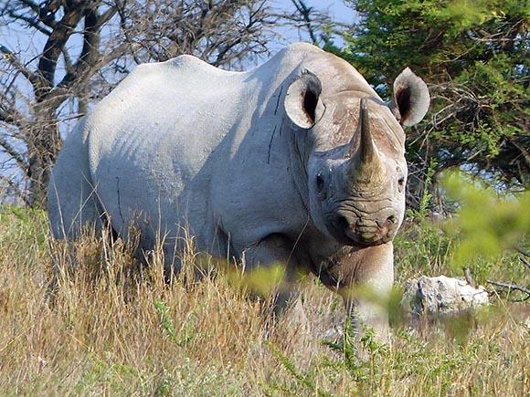 Black Rhinoceros, Etosha National Park
