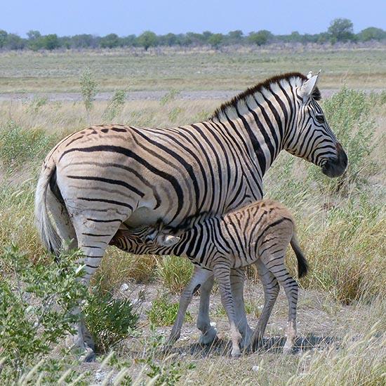 Mama Zebra and nursing baby, Etosha National Park